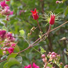 Joy Creek Nursery featuring Clematis, Fuchsia, Hydrangea, Penstemon plus many others