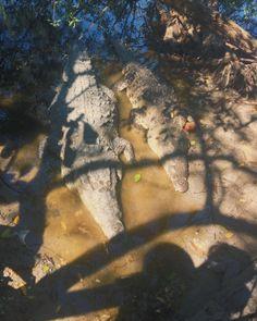 Saltwater crocodiles. La Manzanilla, Jalisco, Mexico