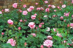 No matter what soil you plant it in, this glamorous ground cover rewards you with tons of roses two to three times a year. —Jamie Durie, Los Angeles - CountryLiving.com