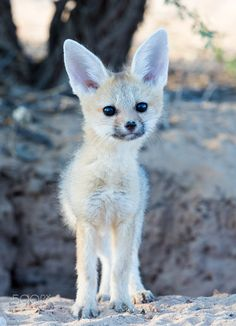 Cape fox baby - A young Cape fox standing in front of a hole in the ground.