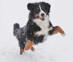 Berner loving the snow- my Charlotte loved to help shovel