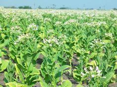 Cuánto tiempo requieren las plantas de tabaco para madurar | eHow en Español