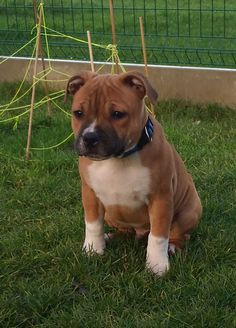 Baby Dogs, Dogs And Puppies, English Staffordshire Terrier, Staffy Dog, Pit Dog, Cute Animals, Animals Dog, Labrador Retriever Dog, Bull Terrier Dog