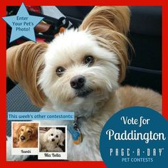 A five-year-old rescue who found his forever home in 2011 Paddington has his own Facebook page Unofficial Paddington and is known to friends and family as The Happiness Ambassador. Hes small but fierce with his chew toys and tender and cuddly with his family. Vote for Top Dog! http://ift.tt/1P29vGs #365Dogs #petsofpageaday #DogsofInstagram #DogsofPageADay #DogsofInstaworld #dogs_of_instagram #petstagram #dogstagram #instagramdogs #doglover #instadog #instapet #dogcontest #blacklab…