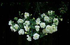 TUMBELINA Melissa - David & Priscilla Kerley, Breeders of Novel Patio Plants