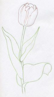 How to draw a tulip.  Instructions.