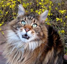 Sharing the love from a Maine Coon cat will fill your heart with happiness.