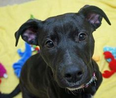 Josie is an adoptable Black Labrador Retriever Dog in Pekin, IL. Hey there! I'm Josie. I am a 1 year old Black Lab mix. Luckily,I found my way to TAPS after being at Sangamon County Animal Control. I...