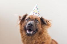 dog wearing birthday hat, © Katie Lindgren Photography | Studio dog Portraits, Gotcha Day,  celebrations