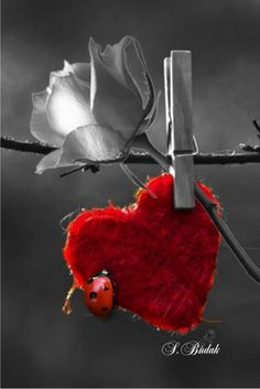 Color splash red ladybug and white rose Love Heart Images, Heart Pictures, Color Splash, Color Pop, Colour, Heart In Nature, Heart Art, Heart Wallpaper, Love Wallpaper