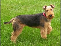 [ Video ] Breed Profile: Airedale Terrier | Animal Planet | Airedale Terrier Dogs - YouTube