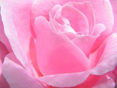 Pink Pink Pink Rose Fine Art Print - Mary Sedivy