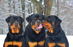 All About The Playful Rottweiler Dogs Exercise Needs Big Dogs, Cute Dogs, Dogs And Puppies, Puppy Obedience Training, Dog Training Tips, Positive Dog Training, Easiest Dogs To Train, Rottweiler Puppies, Beagle