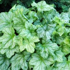 Monrovia's Mint Julep Coral Bells details and information. Learn more about Monrovia plants and best practices for best possible plant performance. Growing Greens, Growing Flowers, Planting Flowers, Shade Garden, Garden Plants, Coral Bells Heuchera, Monrovia Plants, Plant Catalogs, Flower Spray