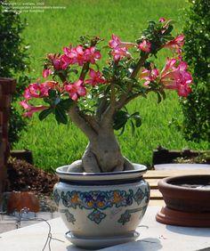 PlantFiles Pictures: Adenium Species, Desert Rose (Adenium obesum) by Kell Unusual Plants, Exotic Plants, Exotic Flowers, Patio Plants, Garden Plants, House Plants, Planting Succulents, Planting Flowers, Rose Plant Care