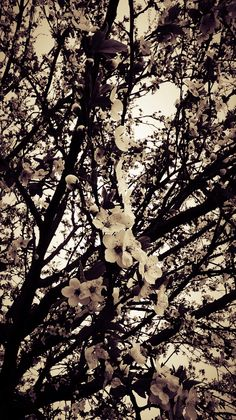 Black and white cherry blossoms White Cherry Blossom, Cherry Blossoms, White Cherries, My Arts, Black And White, Abstract, Artwork, Outdoor, Summary