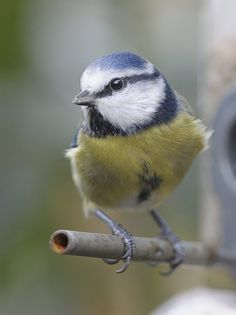 I'm a Blue Tit; my brother's a Blue Ball