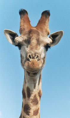 The tallest animal is just what you'd think.