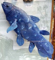 """Coelacanth are examples of """"living fossils,"""" having changed little from their ancestors 300 million years ago, when dinosaurs still roamed the Earth. The genome of these living fossils are revealing some big secrets."""