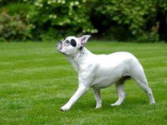 ¿Por qué la gente COMPRA perros potencialmente enfermos? Lejos de disminuir, parece ser que la compra de razas de perros con problemas de salud se incrementa. Aquí te presento un estudio que explica el por qué.