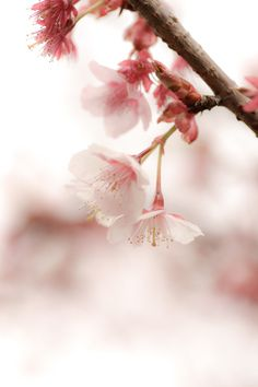 ✿ Pink flower  SAKURA by Sasaki Tomohiro, via 500px