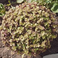 Invasive Species South Africa - Protecting Biodiversity from Invasion - Creeping inch plant Ornamental Plants, Interior Plants, How To Dry Basil, House Plants, South Africa, Gardens, Van, Herbs, Indoor Plants