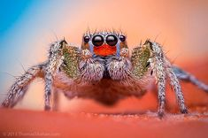 Macro Jumping Spiders