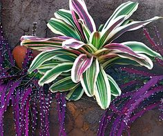 Aechmea orlandiana ensign (Bromeliad) and Lepismium cruciforme (a tropical cactus)