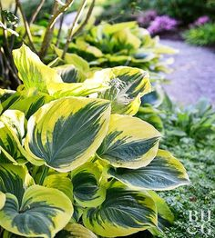 Perennials Rely on these easy-care plants to add color and interest to shady areas. - Those dry, shaded spots in your yard don't have to be barren. Rely on these easy-care perennials to add color and interest to shady areas. Dry Shade Plants, Hosta Plants, Plants, Shade Garden Plants, Perennials, Healthy Garden, Urban Garden, Creative Gardening, Easy Care Plants