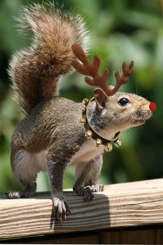 A Christmas Squirrel Animals And Pets, Baby Animals, Funny Animals, Cute Animals, Christmas Squirrel, Christmas Animals, Merry Christmas, Christmas Vacation, Christmas 2014