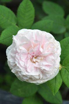 Alba Rose: Rosa 'Felicité Parmentier' (Belgium, before 1836)