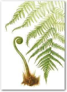 Tree Fern, Botanical Illustrations by Heather Raeburn-Dryopteris filix-maas