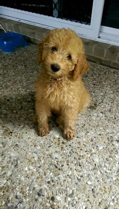 My little labradoodle