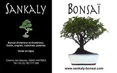 Un petit Bonsaï idéal pour débuter à moindre frais. Ce Sageretia Theezan de 25 cm est disponible à la vente en ligne chez www.sankaly-bonsai.com  http://www.sankaly-bonsai.com/achat-vente-acheter-bonsai-interieur-sankaly-bonsai/3132-vente-de-bonsai-d-interieur-sageretia-theezans-25-cm-sag140902.html
