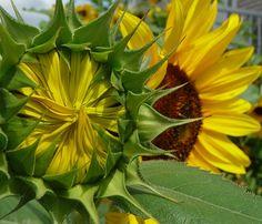 Sunflowers unopened & opened