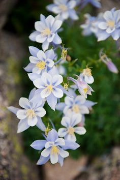Columbine, one of my favorite flowers!  Have all kinds of variations in my garden!  Easy to grow, little maintenance.....my kind of gardening! : )