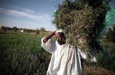 A Nubian farmer carries harvested grass for his animals to eat near the village of Abu Simbel in Upper Egypt, Cairo. Thursday, May (Photo/Tara Todras-Whitehill) Hidden Face, Egyptians, Cairo, Ancient Egypt, Farmer, Thursday, Grass, Africa, Culture