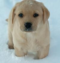 Eppie the Labrador Retriever