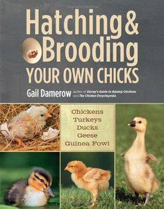 Hatching & Brooding Your Own Chicks: Chickens, Turkeys, Ducks, Geese, Guinea Fowl - Where Can I Get Baby Chicks? How to Plan for Backyard Chickens