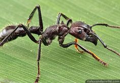 The infamous Bullet Ant. Saw them up close during a hike in Costa Rica