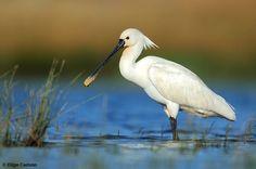 Colhereiro, Spoonbill (Platalea Leucorodia) Entre as Garças e os Flamingos, vai facilmente encontrar Colhereiros em Tavira no caminho de barco para a Praia.
