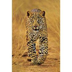 Cheetah Poster | iPosters