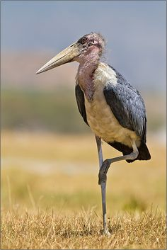 the marabou stork - leptoptilos crumeniferus, is a large wading bird. it breeds in africa south of the sahara, occurring in both wet and arid habitats.