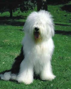 old english sheepdog photo | Old English Sheepdogs - Dogs - Fernie