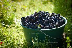 Vendanges et vinifs - Aurélien Ibanez | Portfolio photo et vidéo | Beaune