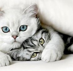 So cute!! And the colours of their eyes are more sparkling than marbles in the sunlight!  #cats