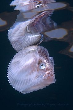 Knobby Argonaut. ** Wow, what a lovely but odd looking creature.