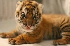 Adorable tiger cub