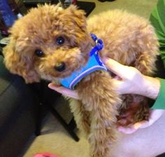 Alfie the red toy poodle 6 months old