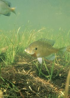 Bluegill...he likes to eat them when they are around 8 in. long